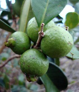 Guayabas silvestres